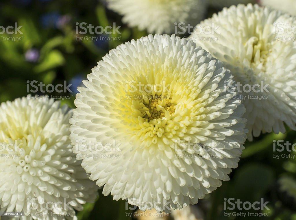 Pompom english daisy ball flowers white stock photo more pictures pompom english daisy ball flowers white royalty free stock photo mightylinksfo
