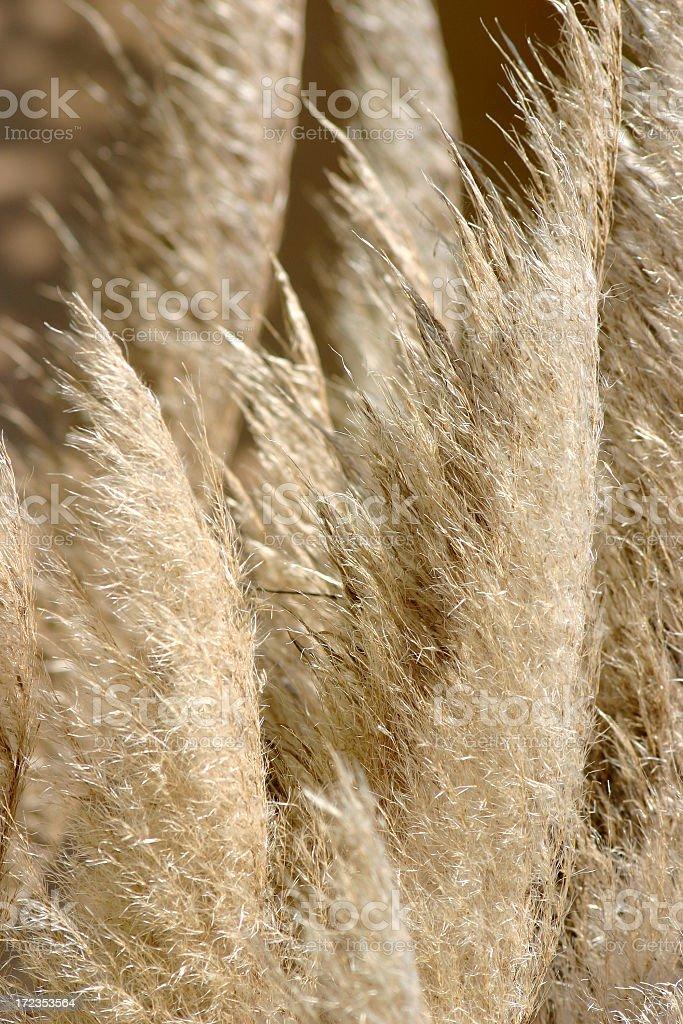 Pompus Grass royalty-free stock photo