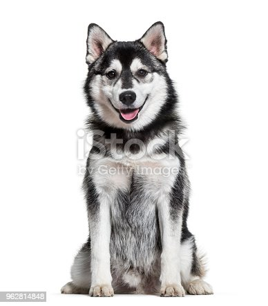 Pomsky dog sitting against white background