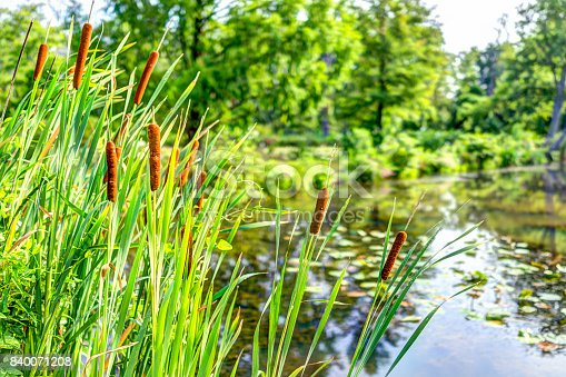 istock Pond and cattails in summer in Kenilworth Park and Aquatic Gardens during Lotus and Water Lily Festival 840071208