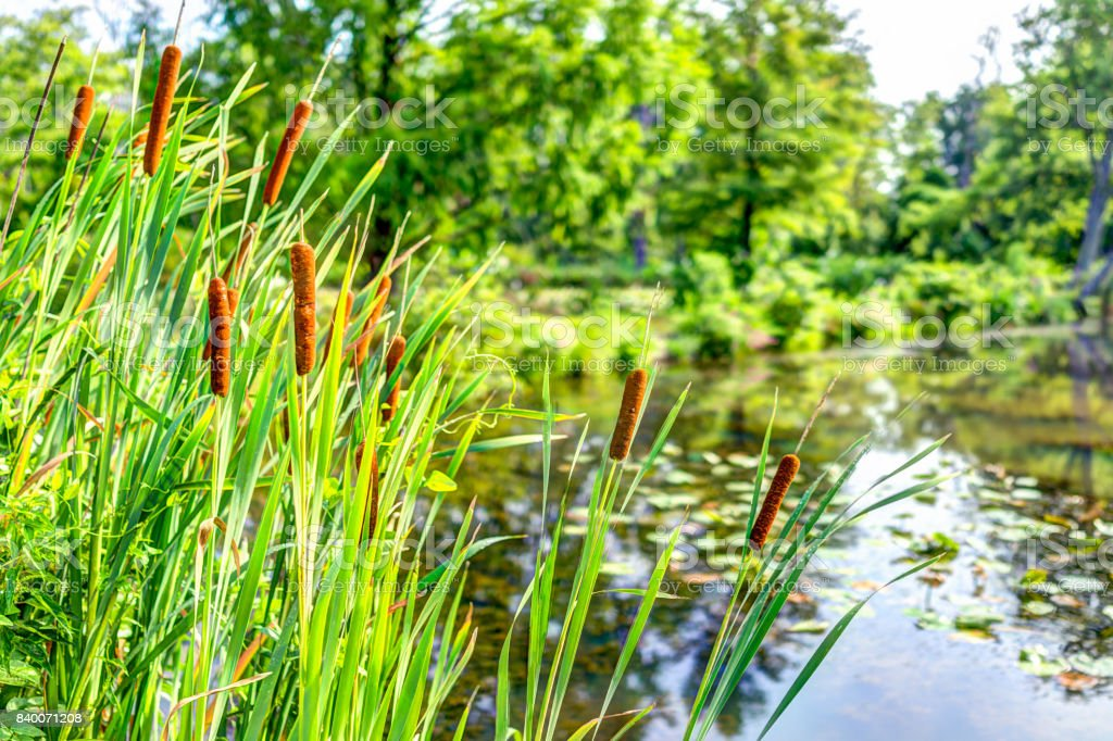 Pond and cattails in summer in Kenilworth Park and Aquatic Gardens during Lotus and Water Lily Festival stock photo