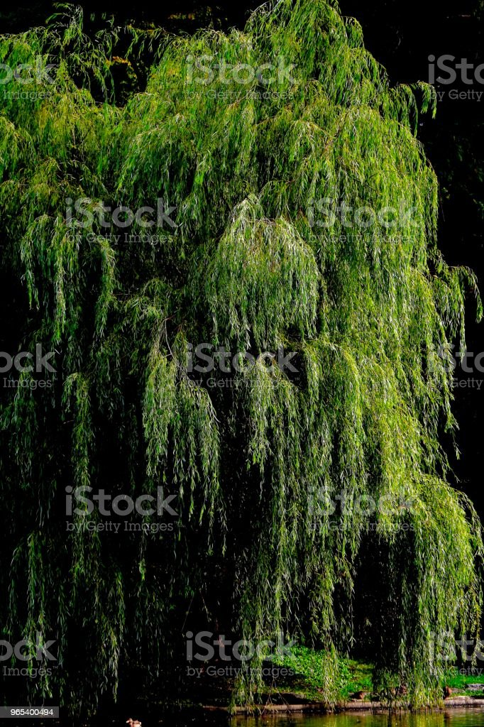 Pond and Weeping Willow royalty-free stock photo