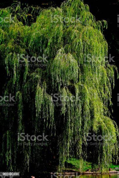 Staw I Wierzba Płaczu - zdjęcia stockowe i więcej obrazów Drzewo