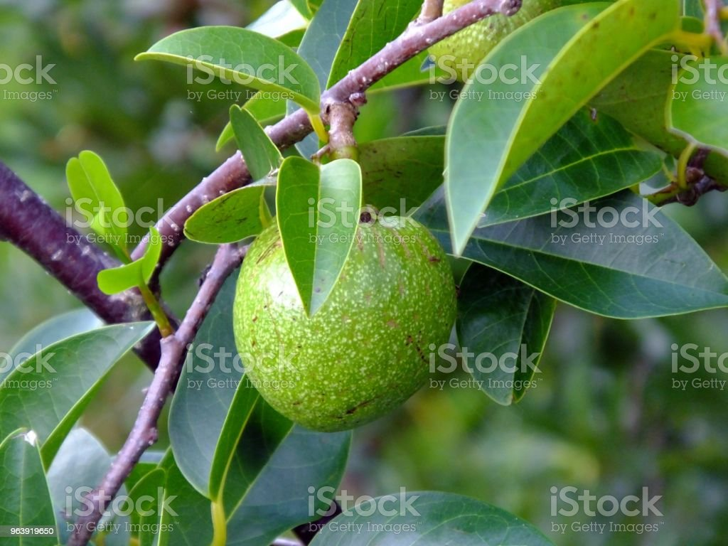 Pond Apple (Annona glabra) - Royalty-free Agriculture Stock Photo
