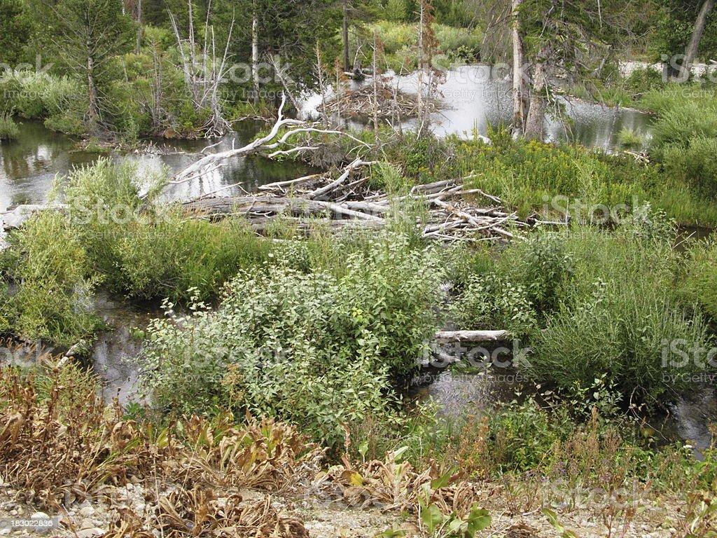Pond Beaver Dams royalty-free stock photo