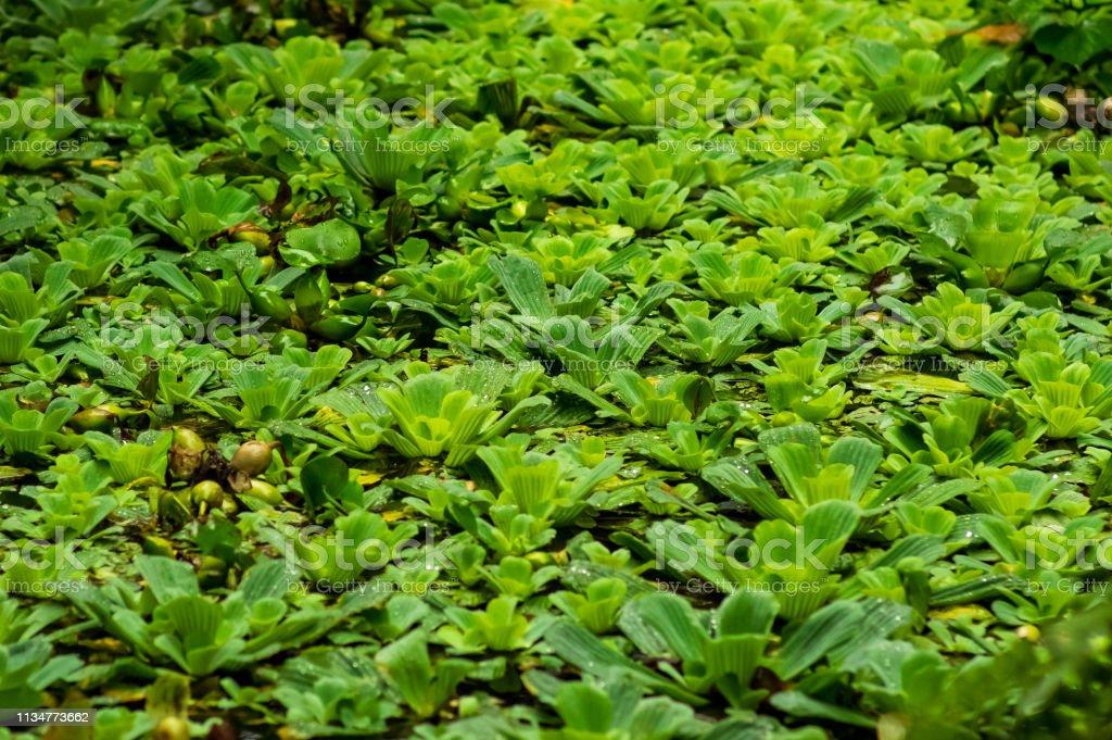 Teich mit Wassersalat bedeckt (Pistia Stratiotes) – Foto