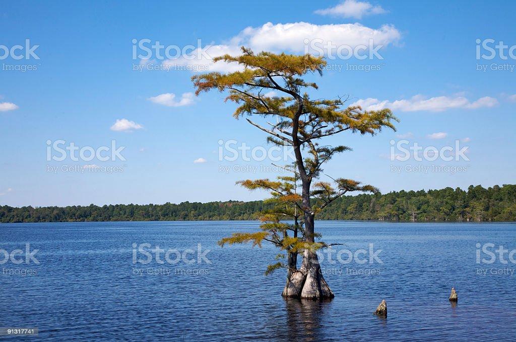 Pond Cypress, North Carolina royalty-free stock photo