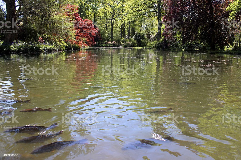 Pond filled with ghost koi fish and common carp feeding royalty-free stock photo
