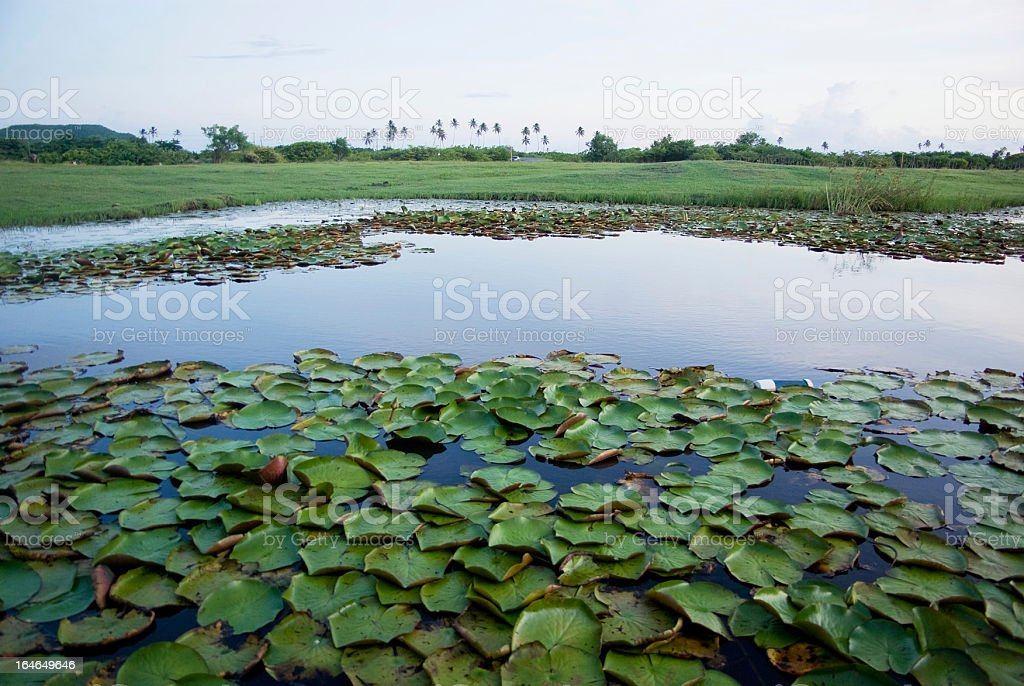pond, lagoon or swamp with lilies against tropical scenery stock photo