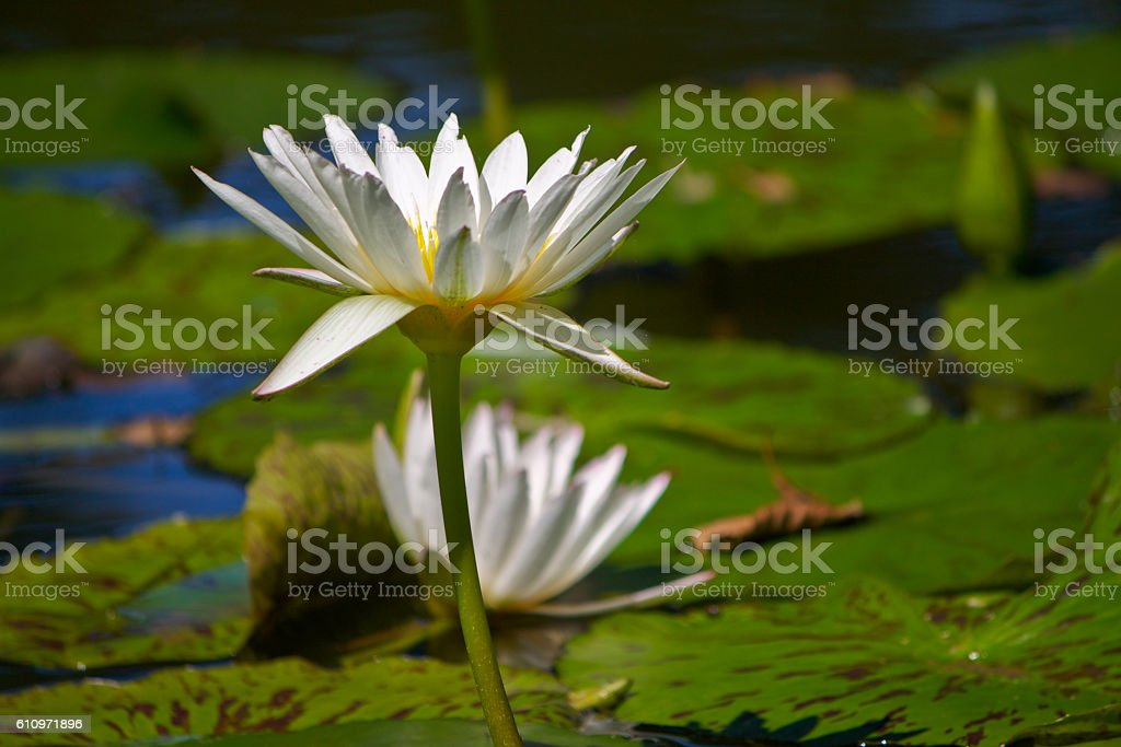 Pond Lilly stock photo
