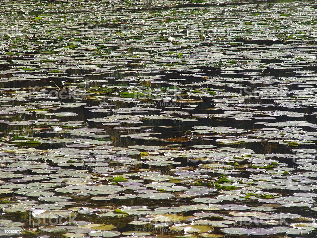 Pond of Lilies stock photo