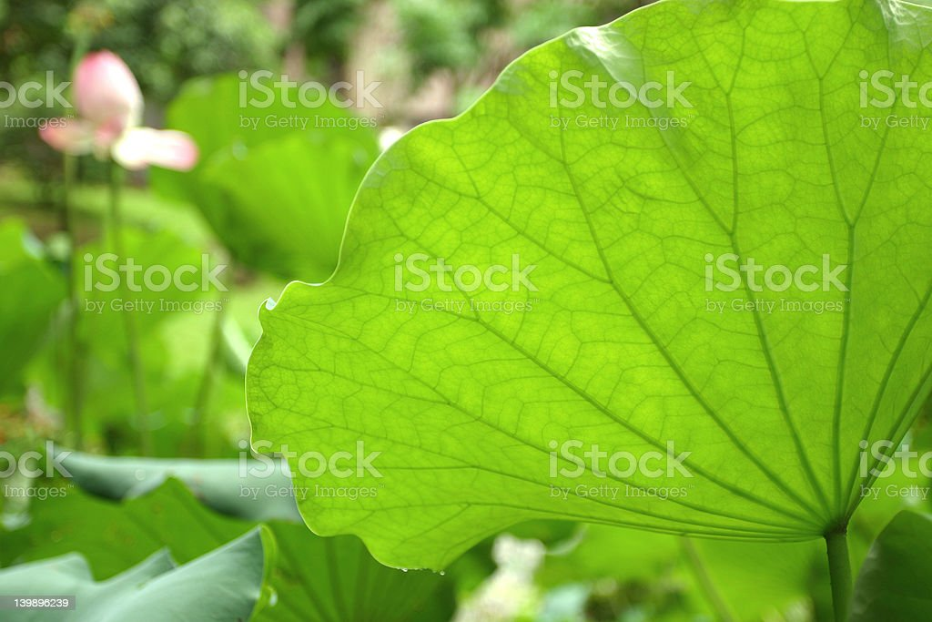 Pond of lotuses royalty-free stock photo