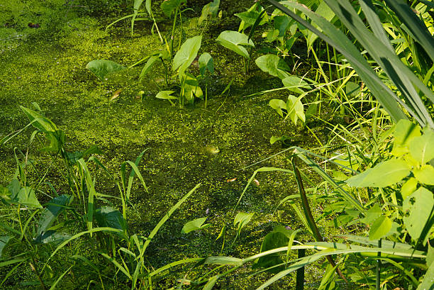 pond - bioremediation stock photos and pictures