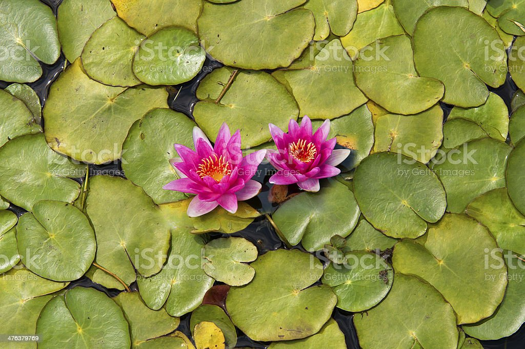 pond scenery with water lilly stock photo