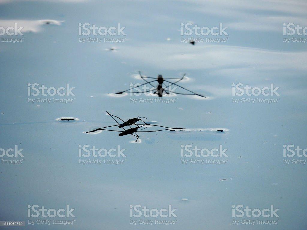 Pond Skater stock photo
