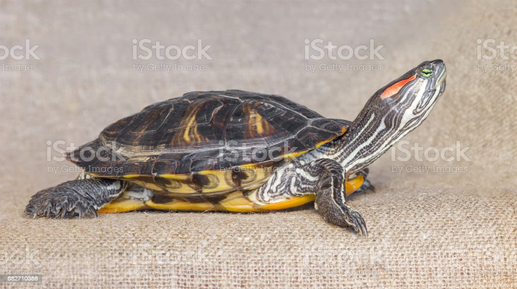 Pond slider red-eared turtle stock photo