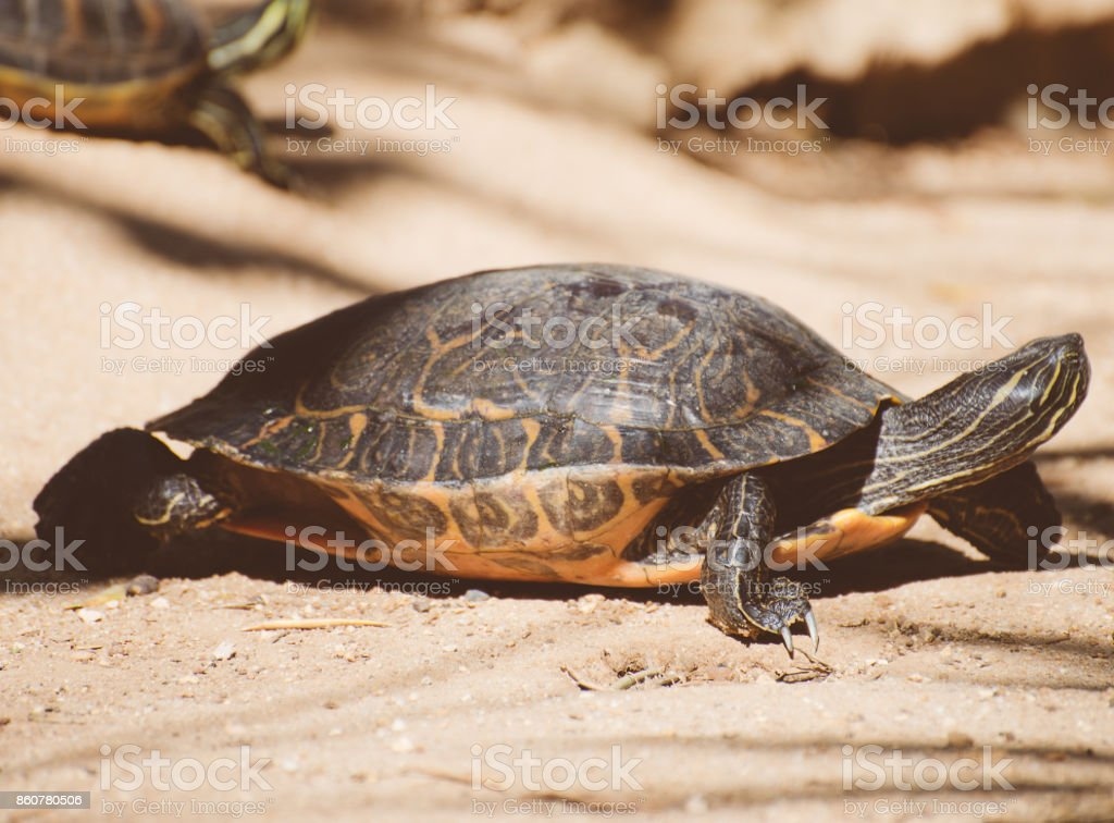 Pond slider turtle portrait. Trachemys scripta. stock photo