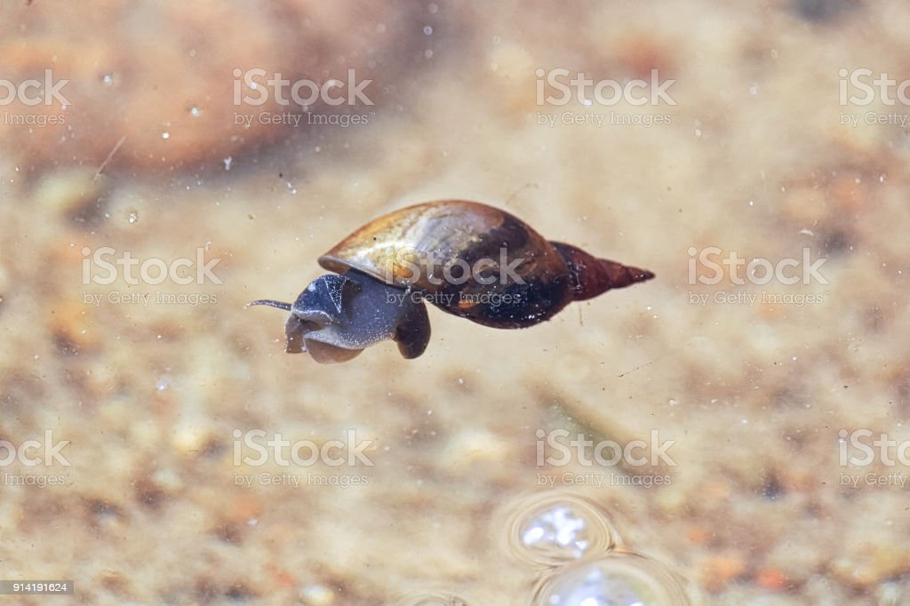 A pond snail floating on the surface of the water stock photo