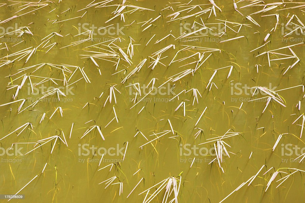 Pond Surface Grass Blades Bending royalty-free stock photo