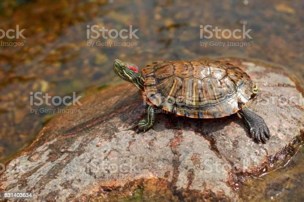Pond turtle heating picture id831403634?b=1&k=6&m=831403634&s=612x612&h=ezkztvzjgphmqeaktj2lat2kcmpeawx3xhopsn k3rw=