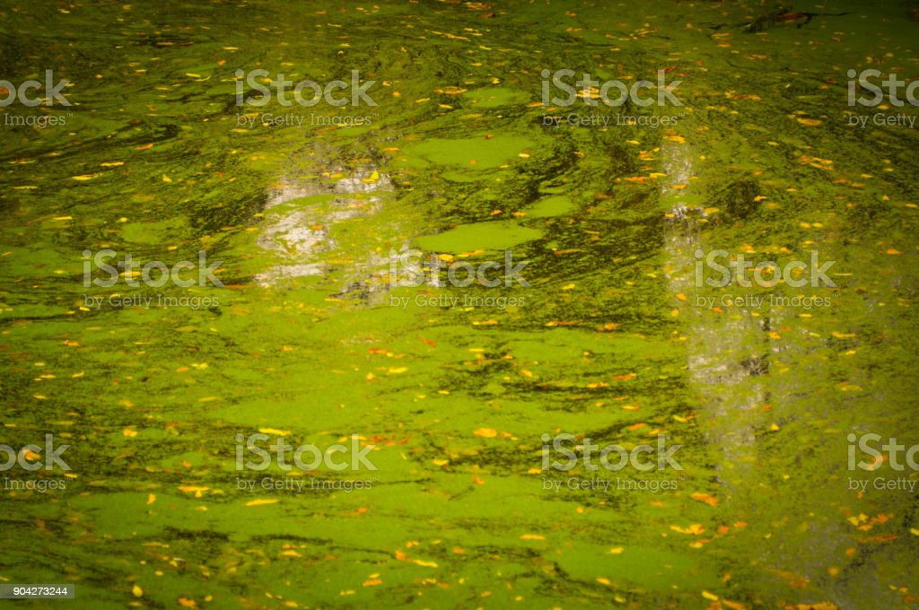 Pond weed on the surface of a pond stock photo