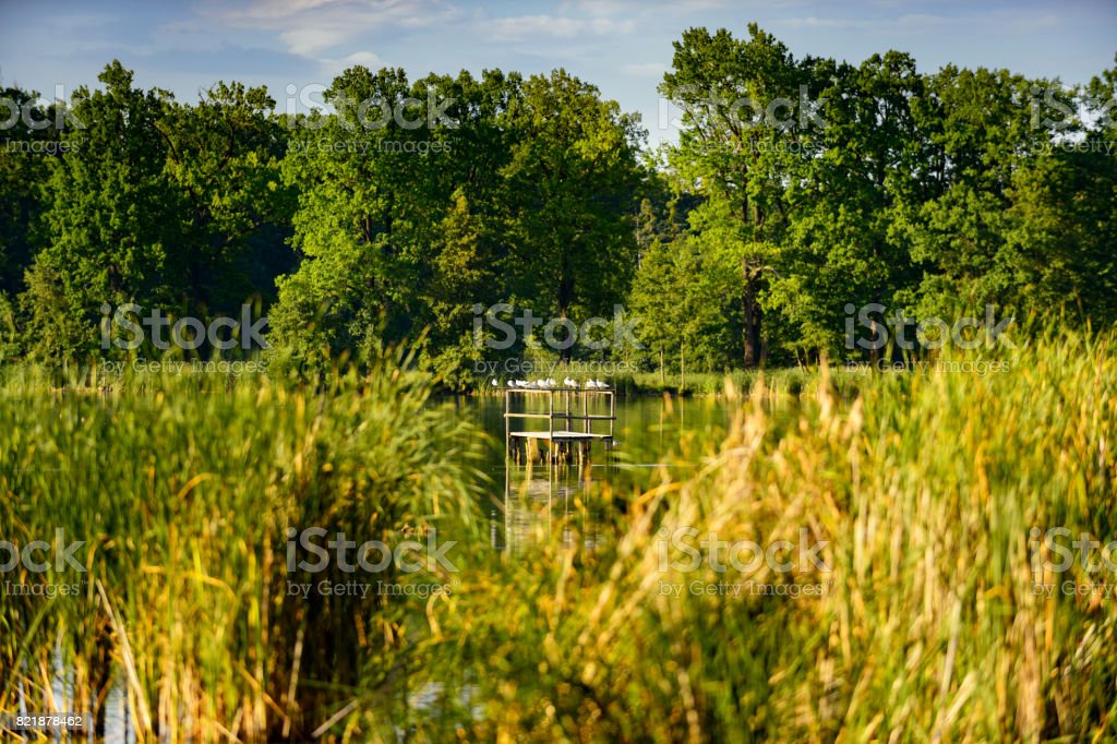 Pond with group of white birds, conservation concept stock photo