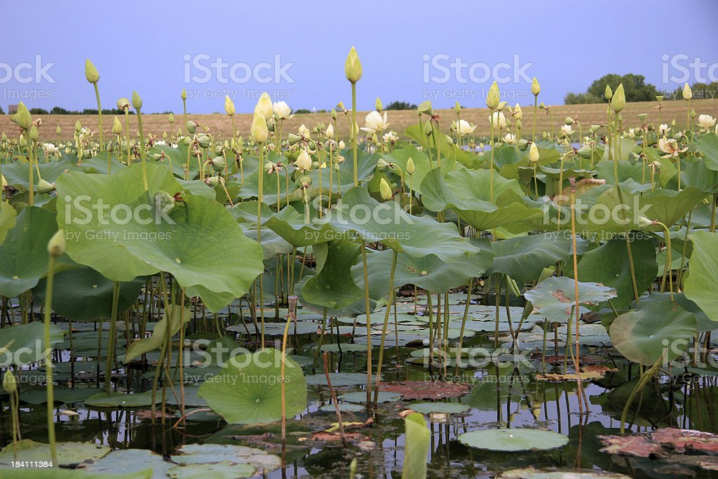 pond with lilypads stock photo