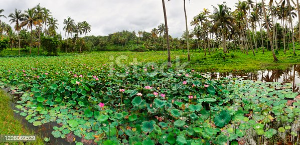 Pond with lotus or waterlilly flowers in Varkala, Kerala, south India