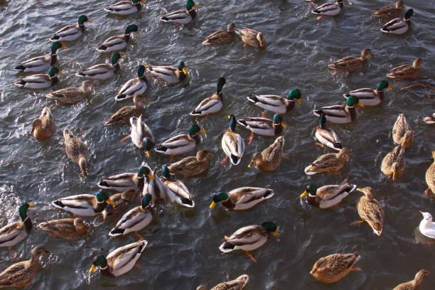 Pond with many birds feeding, ducks and gulls stock photo