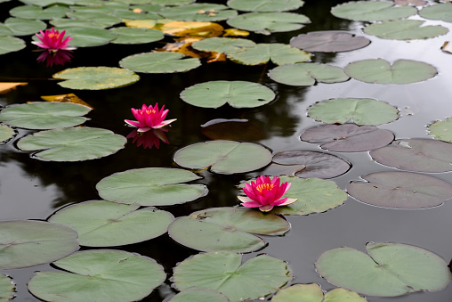 pond with pink water lilies