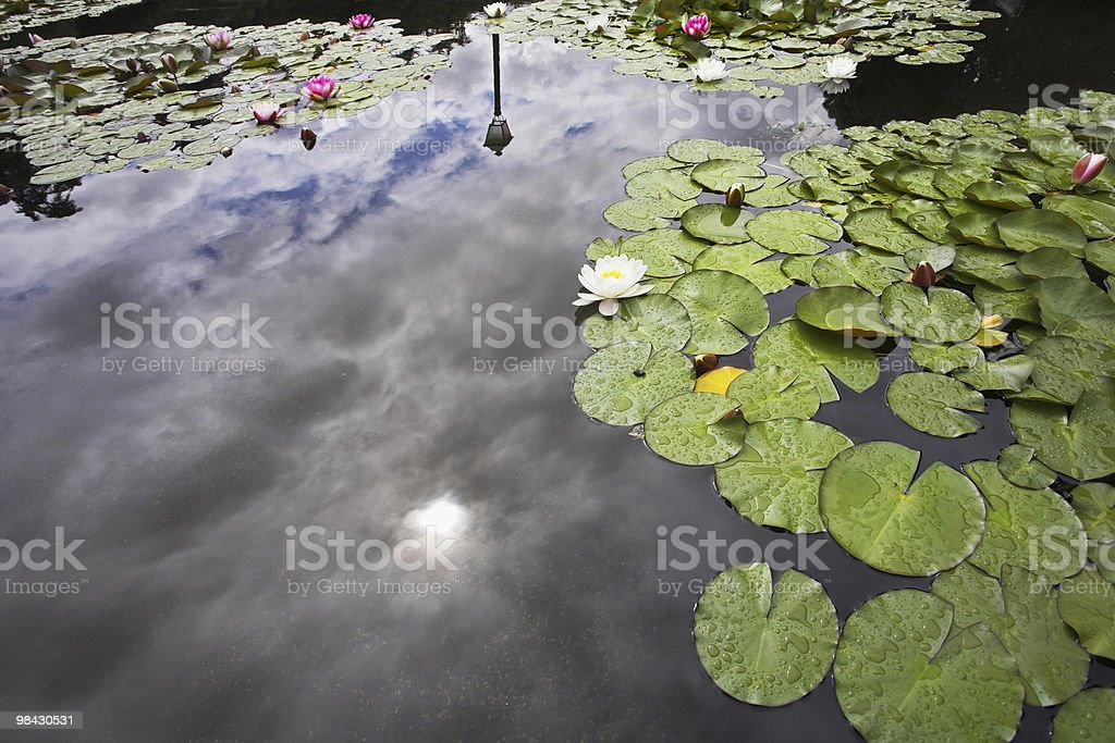 Pond with the blossoming lilies, clouds and  sun royalty-free stock photo