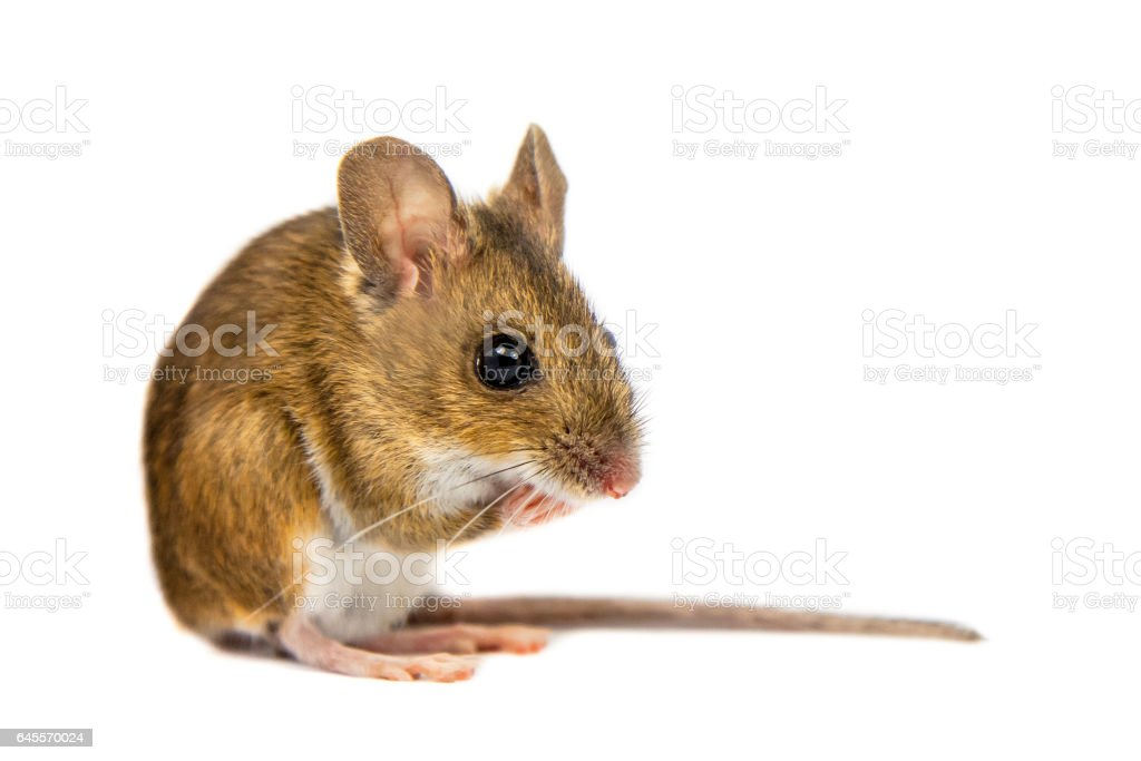 Pondering Field Mouse on white background stock photo