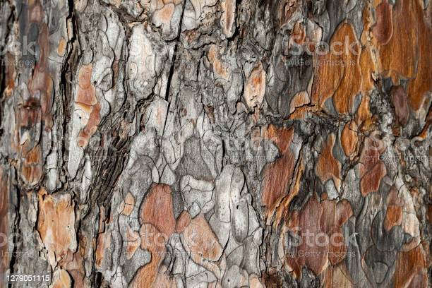 Photo of Ponderosa Pine bark that looks like puzzle pieces, brown and gray