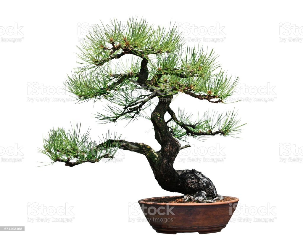 Ponderosa-Kiefern-Bonsai-Baum – Foto