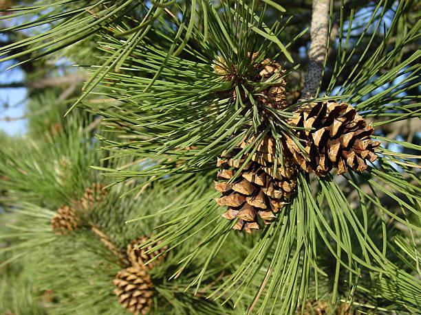 ponderosa pine cones, close up on the tree stock photo