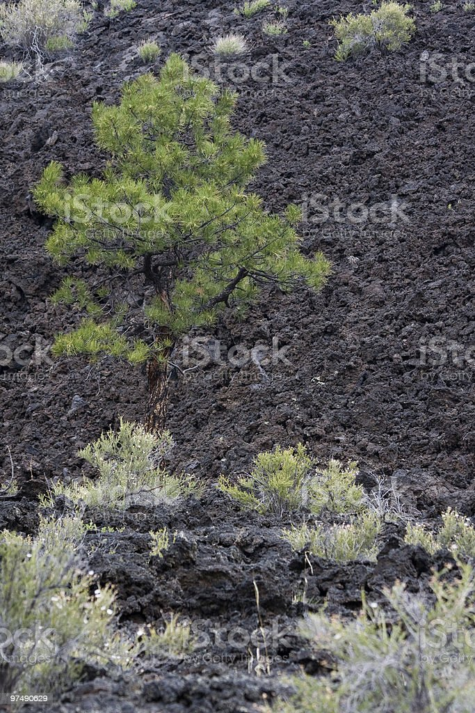 Ponderosa Pine in Volcanic Rock royalty-free stock photo
