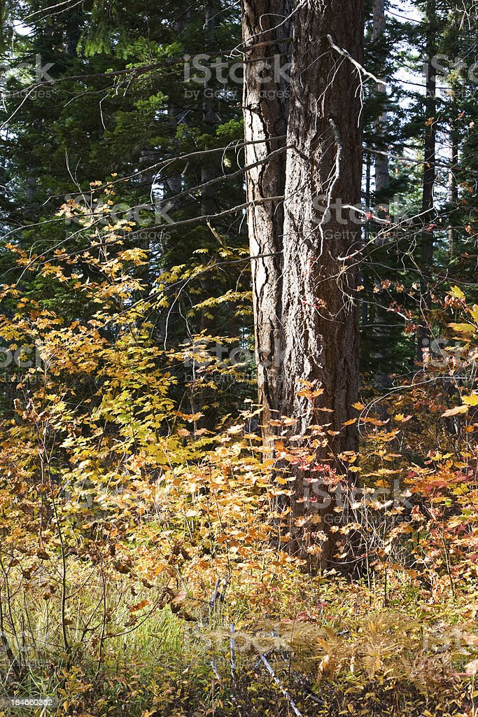 Ponderosa Pine Surrounded by Vine Maple royalty-free stock photo