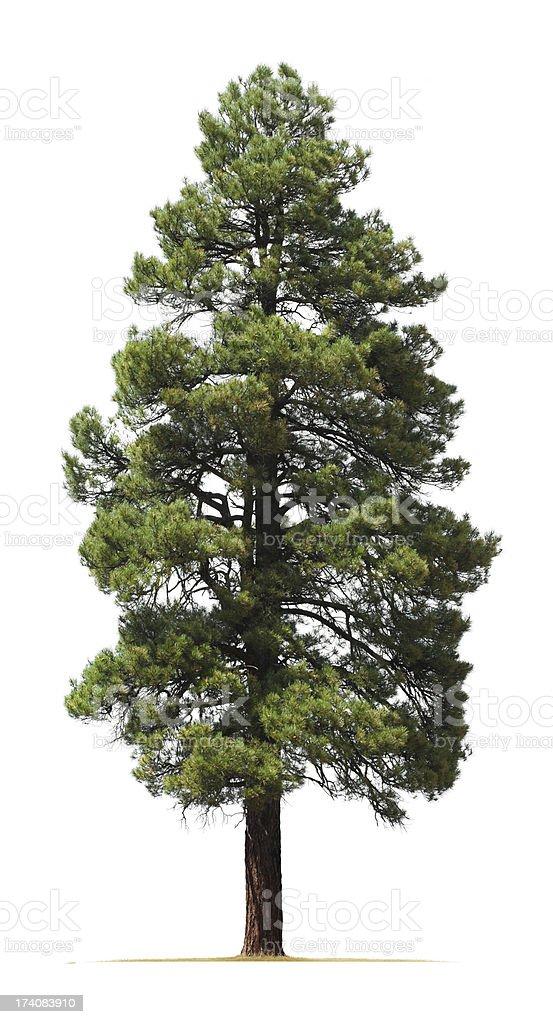 Ponderosa pine tree isolated on white background stock photo