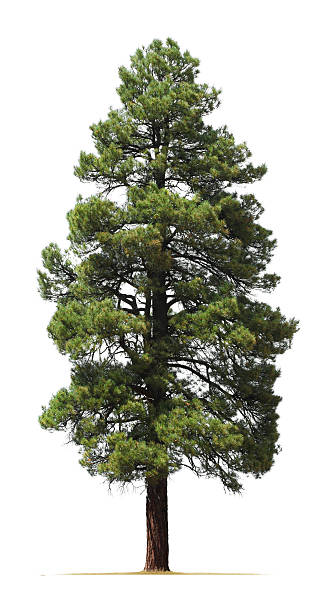 ponderosa pine tree isolated on white background - kozalaklı ağaç stok fotoğraflar ve resimler