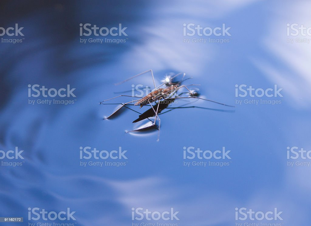 pond-skater on blue water surface stock photo