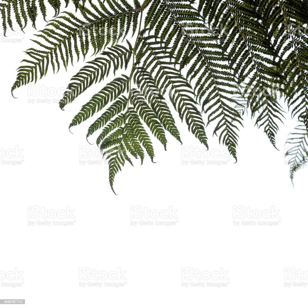 Ponga or Silver tree-fern leaves isolated stock photo