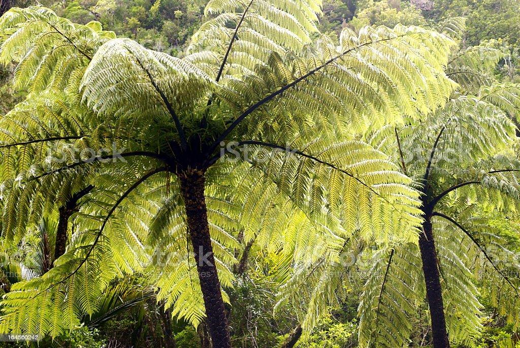 Ponga Tree Fern Canopy, New Zealand stock photo