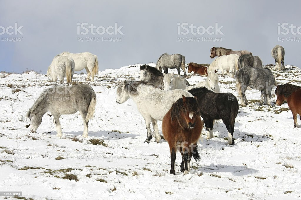 Ponies in the snow royalty-free stock photo