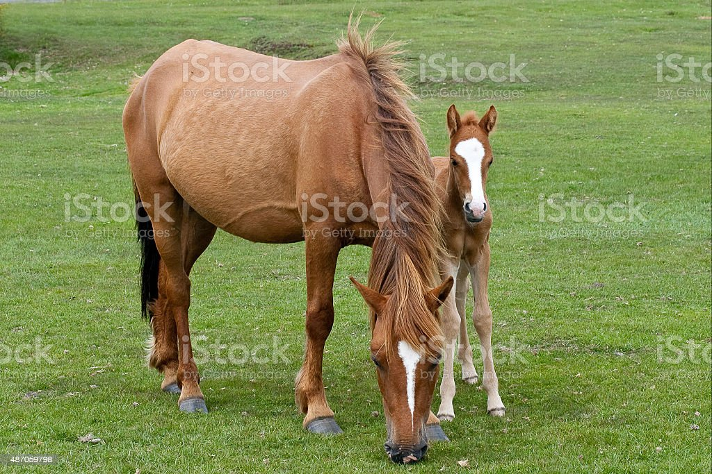 Ponies of the New Forest stock photo