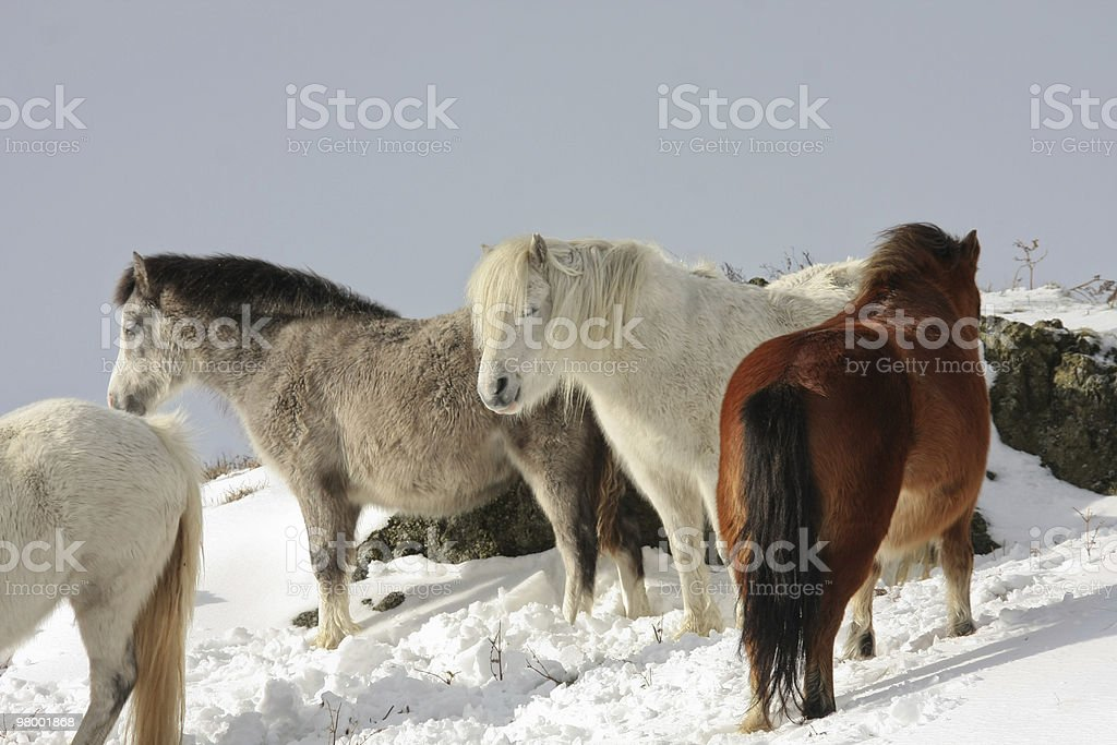 Ponies royalty free stockfoto