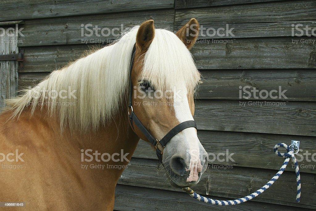 Pony angebunden stock photo