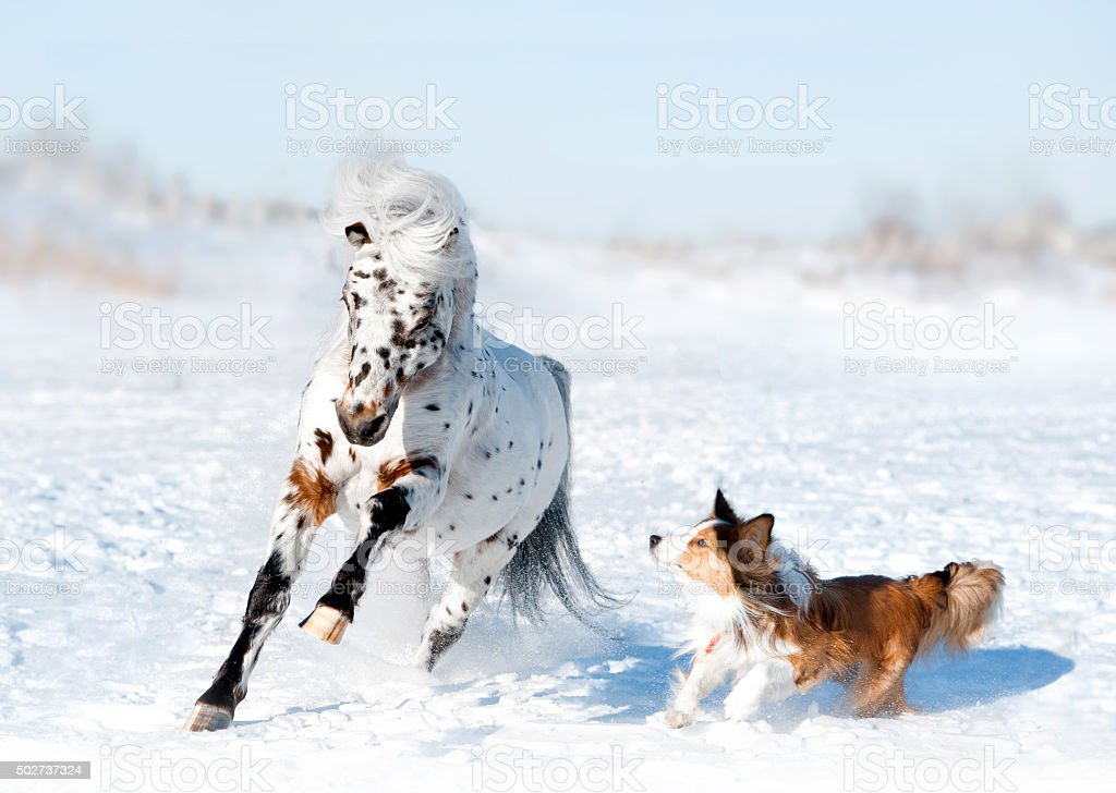 pony appaloosa with border collie have fun in snow stock photo