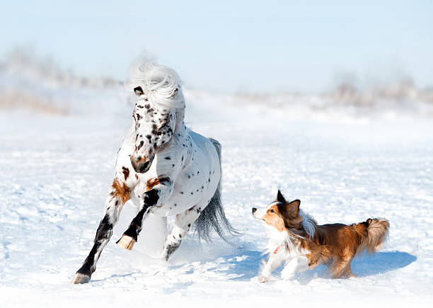 pony appaloosa with border collie have fun in snow pony appaloosa with border collie have fun in snow appaloosa stock pictures, royalty-free photos & images