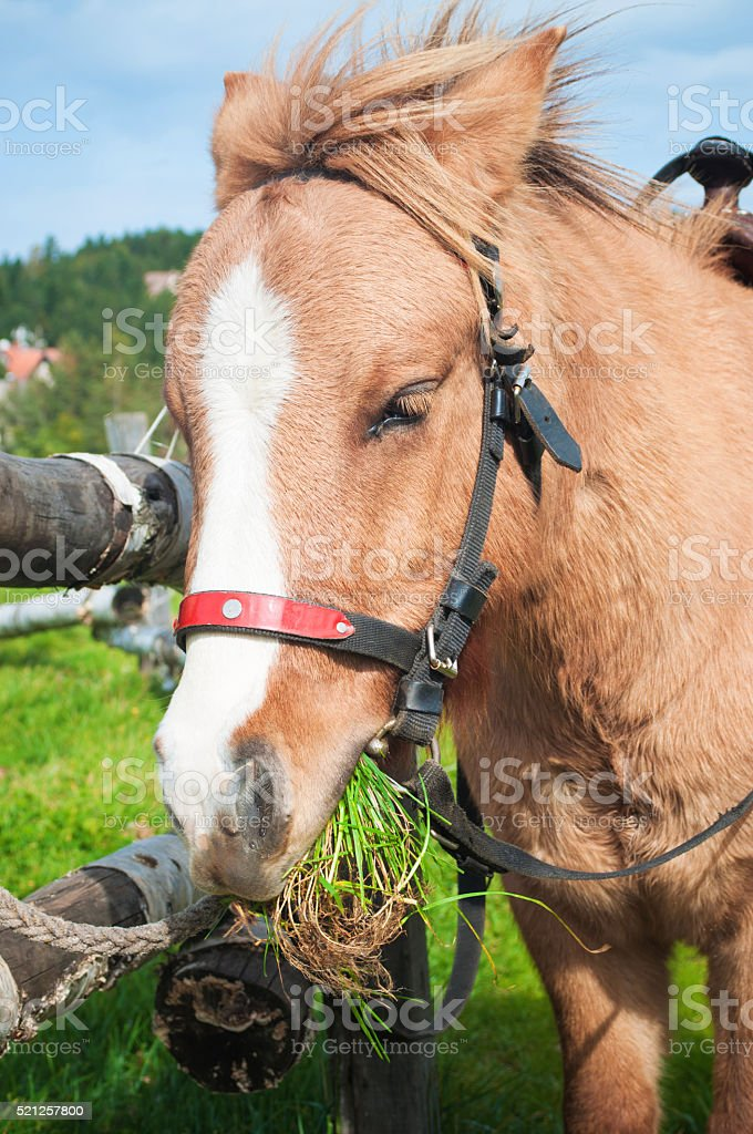 Pony eating grass stock photo