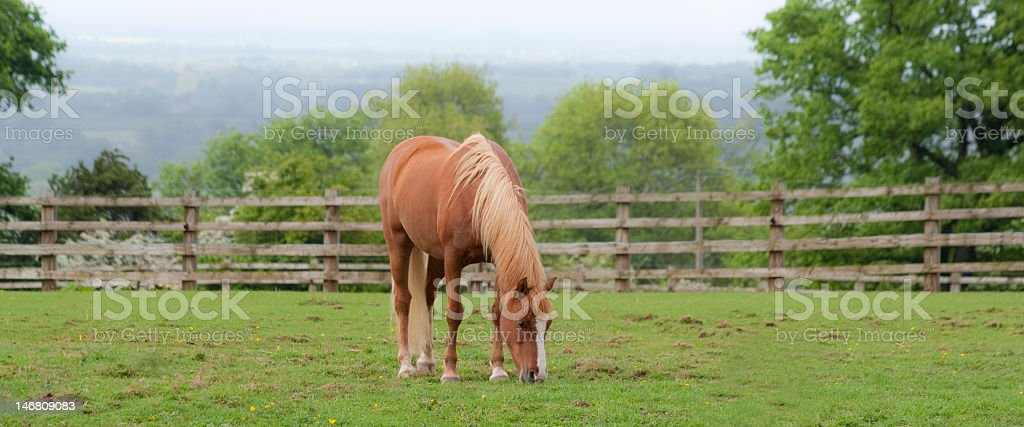 pony  grazing alone in field royalty-free stock photo